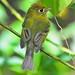 Empidonax flavescens - Photo (c) Jerry Oldenettel, algunos derechos reservados (CC BY-NC-SA)