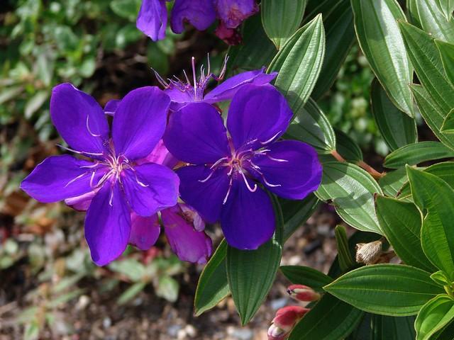 Tibouchina Purple Glory Tree Flickr Photo Sharing