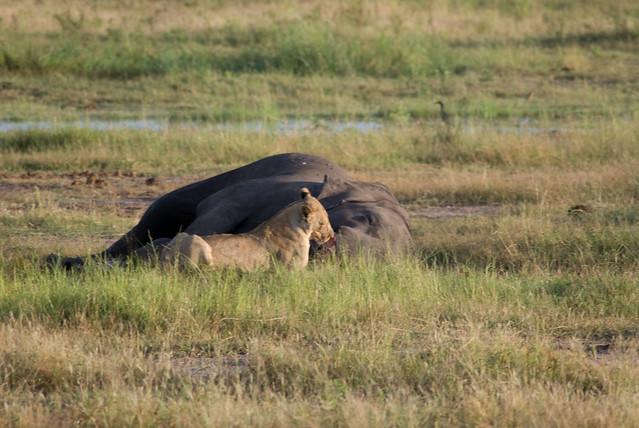 Lion Vs Elephant Lion Vs Elephant