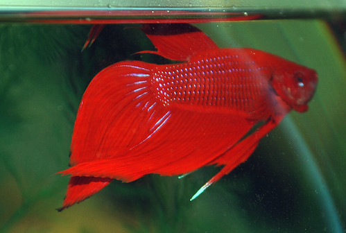 My 2nd betta rufus is this fin rot tropical fish forums for Fish tail fin