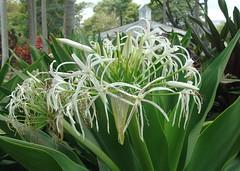 grass(0.0), hymenocallis(1.0), flower(1.0), hymenocallis littoralis(1.0), plant(1.0), flora(1.0),