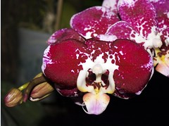 Sikkim Orchids