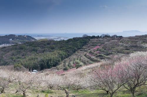 Japanese plum