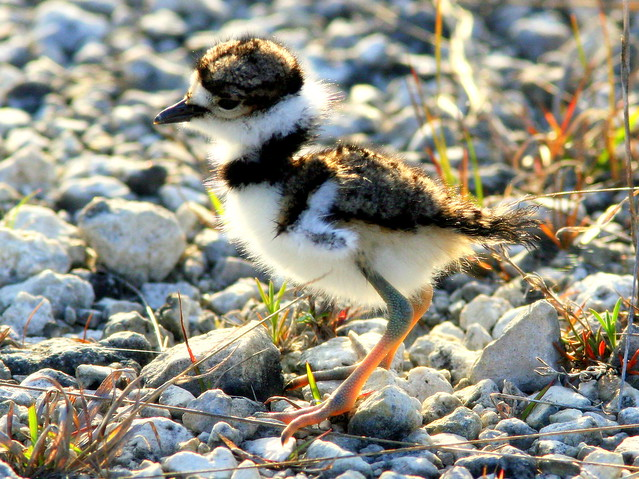 Killdeer Chick Backlit 20090416