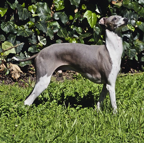 Italian Greyhound - Louie