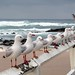 Seagulls at Nobby's Beach, Newcastle, NSW Australia