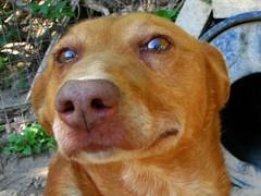 dog breed(1.0), nose(1.0), animal(1.0), dog(1.0), redbone coonhound(1.0), pet(1.0), mammal(1.0), nova scotia duck tolling retriever(1.0), vizsla(1.0),