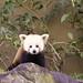 Small photo of Red Panda (Ailurus fulgens)