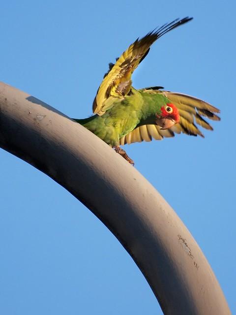 Parrot Wild Ride