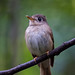 Old World Flycatchers - Photo (c) Chung Kiu, Ryan Cheng, some rights reserved (CC BY-SA)