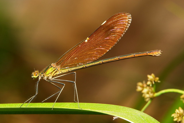 Stream Glory, Oriental Greenwing, Chinese Greenwing, Green-winged Demoiselle or Green Metalwing (Neurobasis chinensis chinensis, Calopterygidae), female