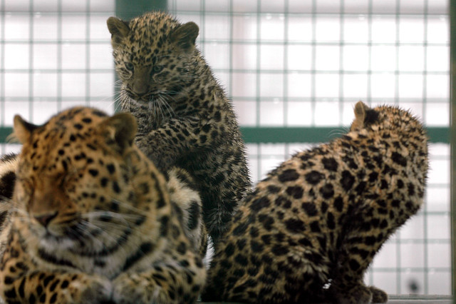 Rare Amur leopard cubs and mother | Rare Amur leopard cubs ...