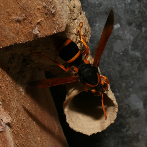 Large Potter Wasp