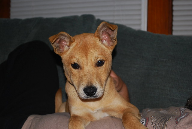 Smooth Coat Fox Terrier mix....with hmmmm???? | Flickr ...