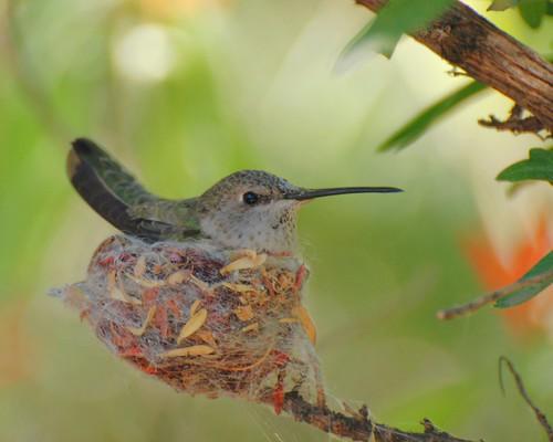 bird fun hummingbird nest nesting arizonasonoradesertmuseum annashummingbird tucsonarizona photosbylindaalthoffnature