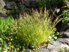 Carex elata - Bowles´ golden sedge