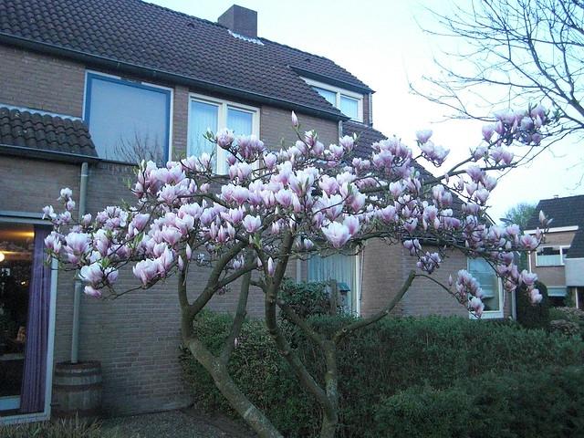 Magnolia in bloei vroeg in de avond 5 flickr photo sharing - Draadloze bloei lamp ...