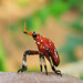 Strange Red Insect_sideview by vas_k