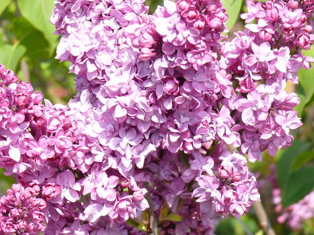 lilas rose les lilas de nos jardins fleurissent en mai. Black Bedroom Furniture Sets. Home Design Ideas
