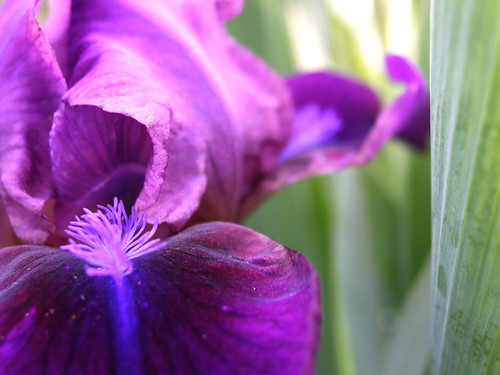 Tom's iris or Another Boring Flower Picture.