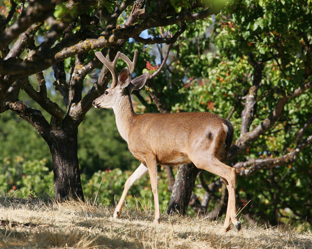 Buck in the apricot orchard