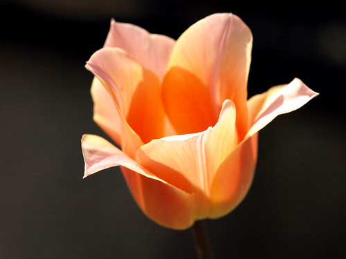 Tulip in the Sun