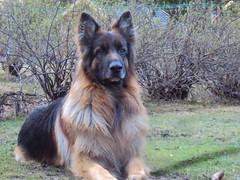 eurasier(0.0), belgian shepherd malinois(0.0), australian terrier(0.0), dog breed(1.0), german shepherd dog(1.0), animal(1.0), dog(1.0), old german shepherd dog(1.0), tervuren(1.0), belgian shepherd(1.0), bohemian shepherd(1.0), east-european shepherd(1.0), shiloh shepherd dog(1.0), carnivoran(1.0),
