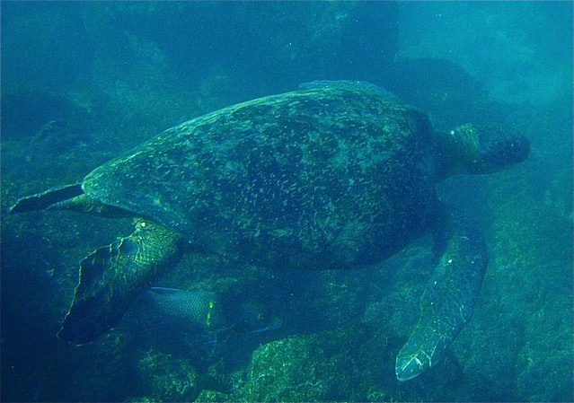 Turtle in Santa Cruz, Galápagos