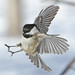 Landing of Black- Capped Chickadee