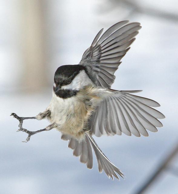 Chickadee landing - photo#6