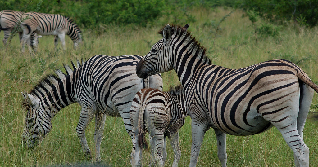 Zebra, Hluhluwe Imfolozi Game Reserve