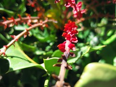 Mahonia (Yucca Do Hybrid)