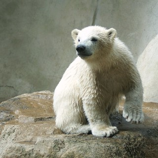"This is Walker the little polar bear in the Zoo ""Ouwehands Dierenpark"" Rhenen The Netherlands - REPOST"