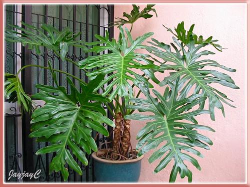 wer bin ich wie werde ich gepflegt philodendron bipinnatifid pflanzenbestimmung. Black Bedroom Furniture Sets. Home Design Ideas
