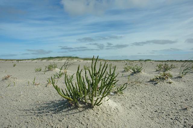 Salicornia procumbens (Procumbent glasswort / Langarige strandzeekraal)
