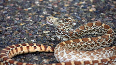 animal, serpent, snake, boa constrictor, reptile, hognose snake, fauna, viper, scaled reptile, kingsnake, wildlife,