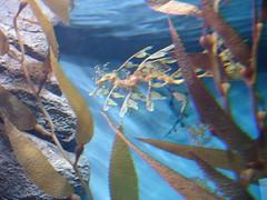 DSC01650-The leafy sea dragon,