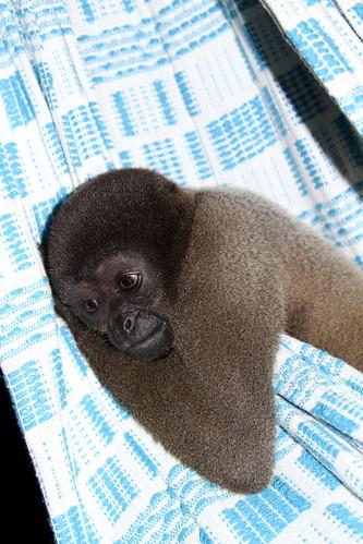 Lilica (Lagothrix cana) occupied my hammock