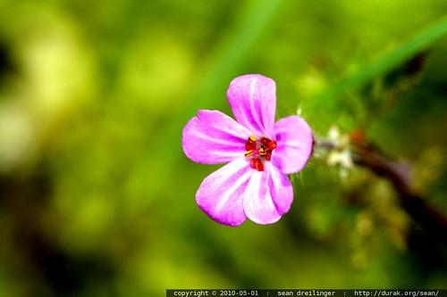 macro pink flower in our yard