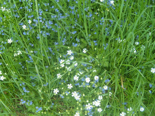 Stitchwort and speedwell