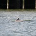 Charleston Harbor Dolphin