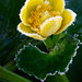 Frost on Marsh Marigold 3