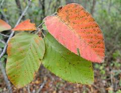 Flora nativa de los Andes y Chile (árboles y arbustos)