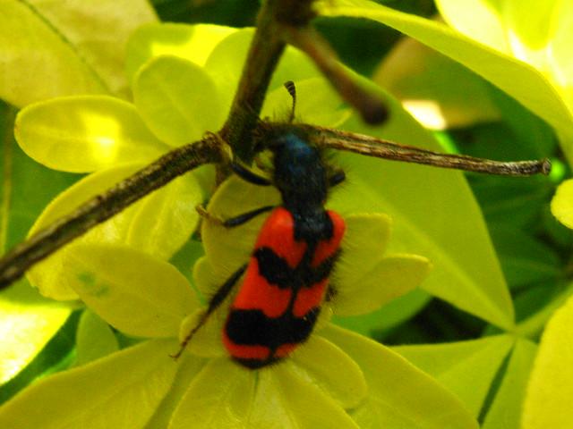 Insecte en rouge et noir explore oxasushi 39 s photos on flickr photo sharing - Insecte rouge et noir ...
