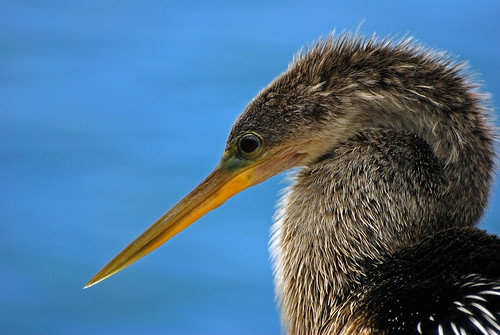 eye nature water birds animal closeup female standing outdoors colorful looking florida wildlife watching beak feathers sarasota staring avian anhinga plumage sarasotabay anhingaanhinga snakebird blurredbackground hartslanding michaelskelton michaeldskelton michaeldskeltonphotography