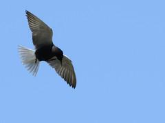Guifette noire (Sterne noire) - Chlidonias niger - Black tern DSC_7209f