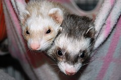 animal, common opossum, mustelinae, mustelidae, mammal, fauna, polecat, whiskers, black footed ferret, ferret,