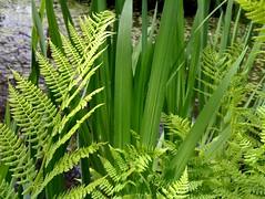 flower(0.0), vascular plant(1.0), fern(1.0), leaf(1.0), plant(1.0), flora(1.0), ostrich fern(1.0), plant stem(1.0), vegetation(1.0),