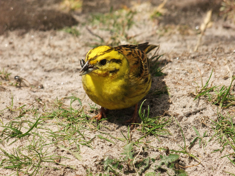 yellow hammer yellowhammer bird billy clapham