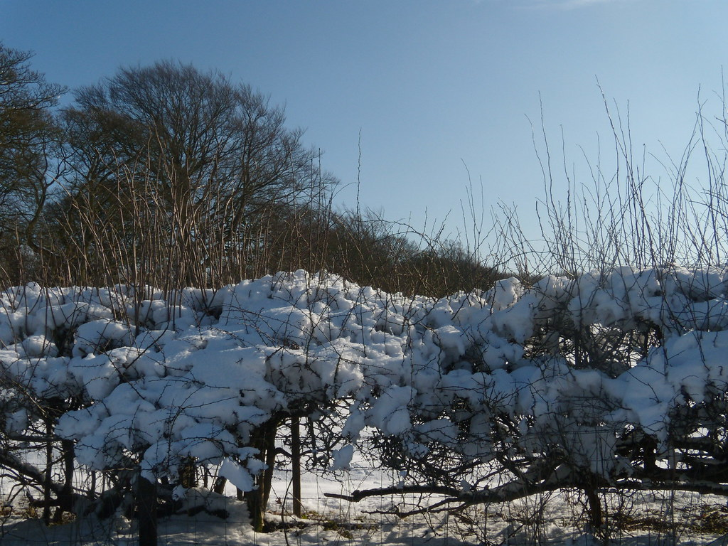 Snow on a hedge Tring to Berkhamsted